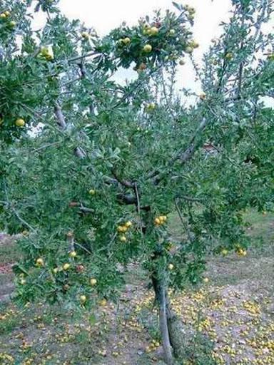 أسماء وصور لأشجار فاكهة