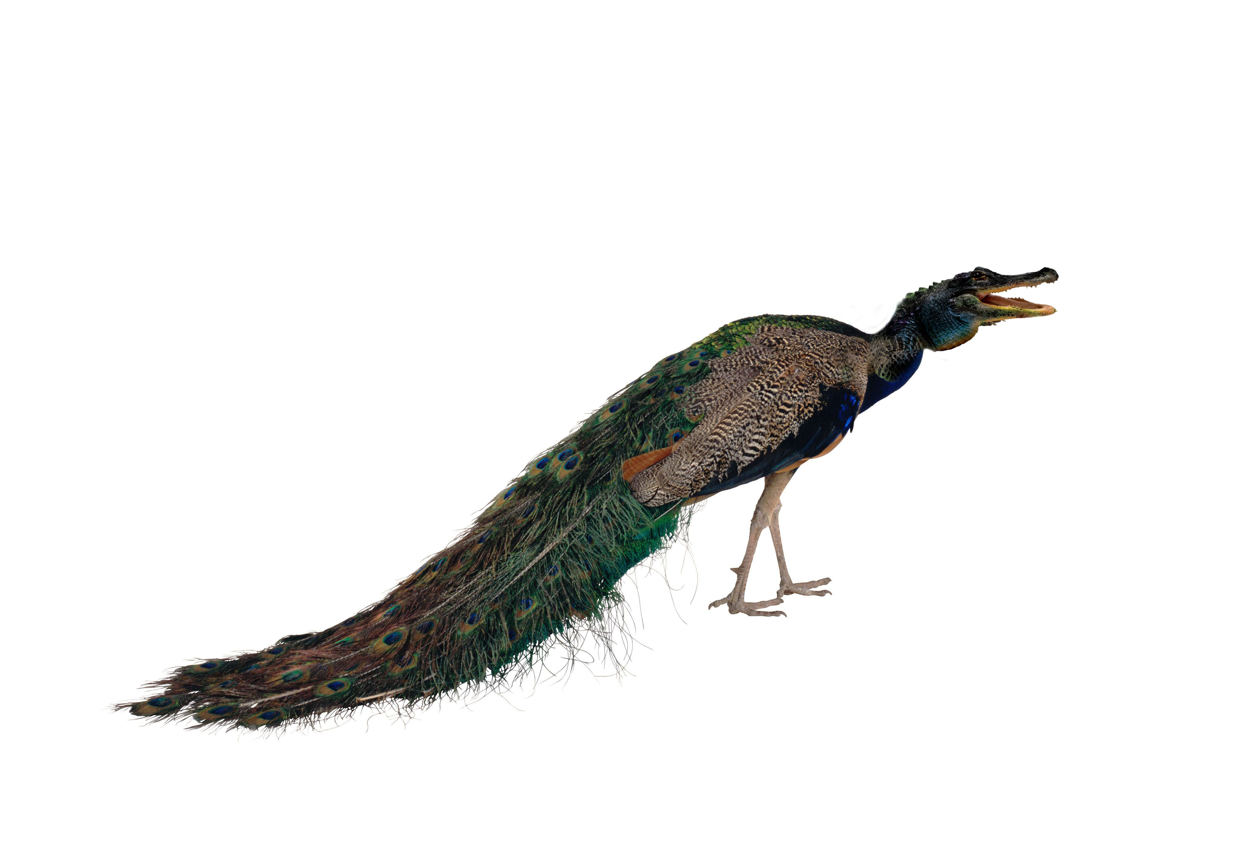 الدرس السادس دورة الدمج طاووس